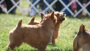 Norfolk Terrier Widescreen