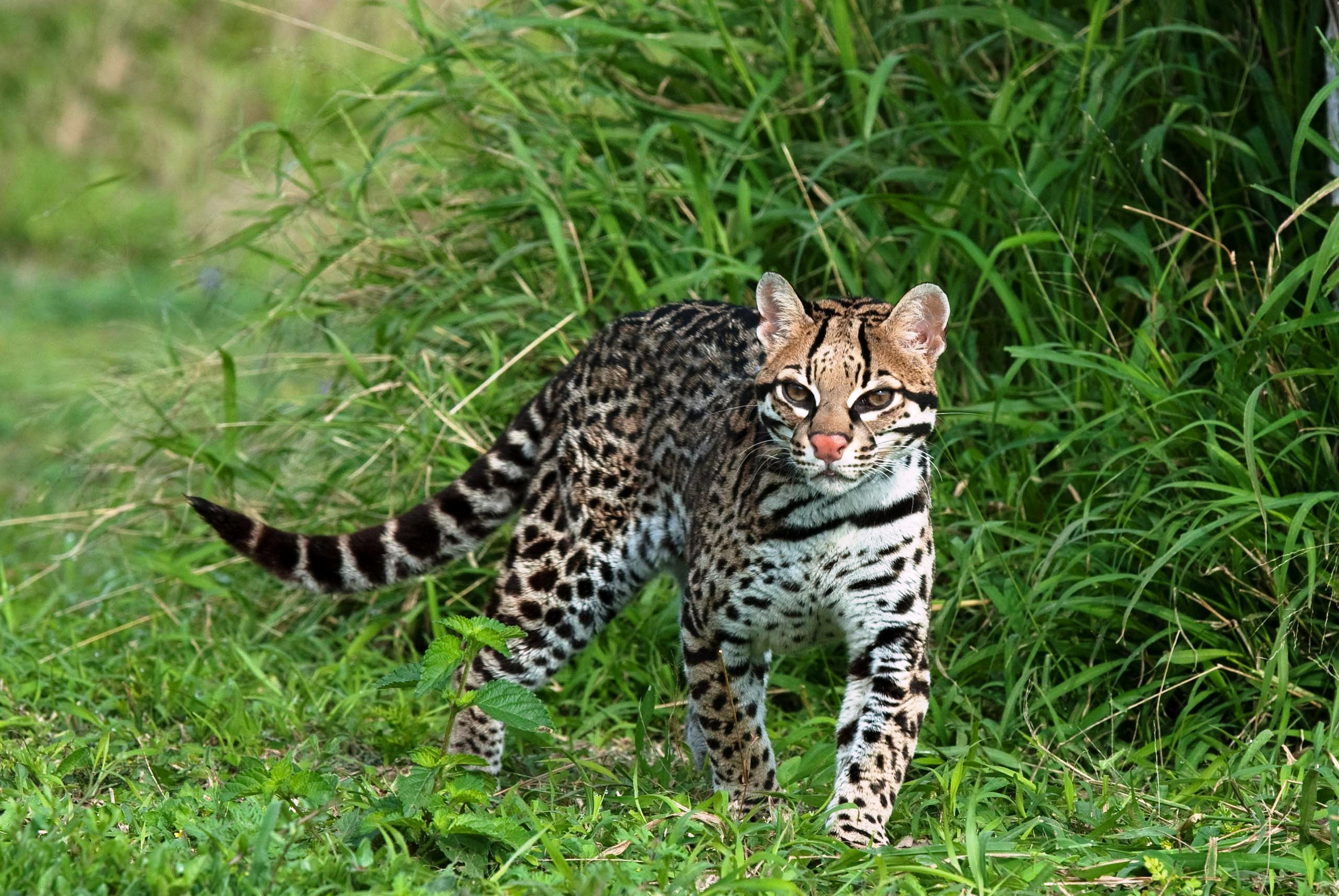 Ocelot Hd Wallpaper