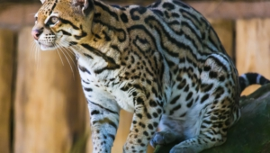 Ocelot High Definition