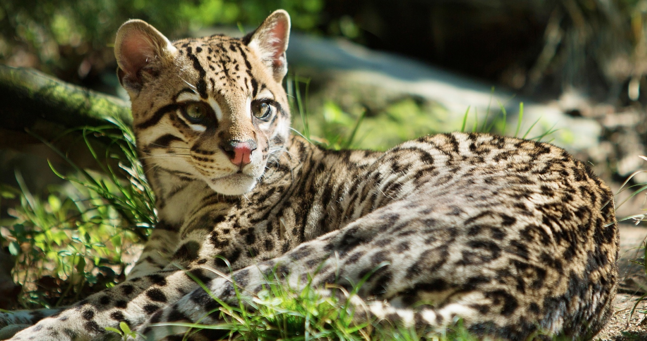 Ocelot High Quality Wallpapers