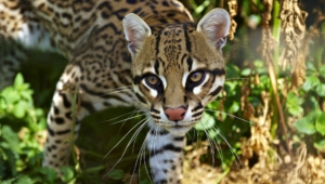 Ocelot Photos