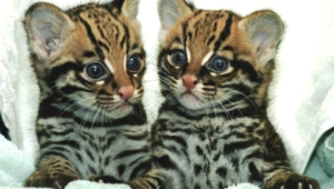 Ocelot Full Hd