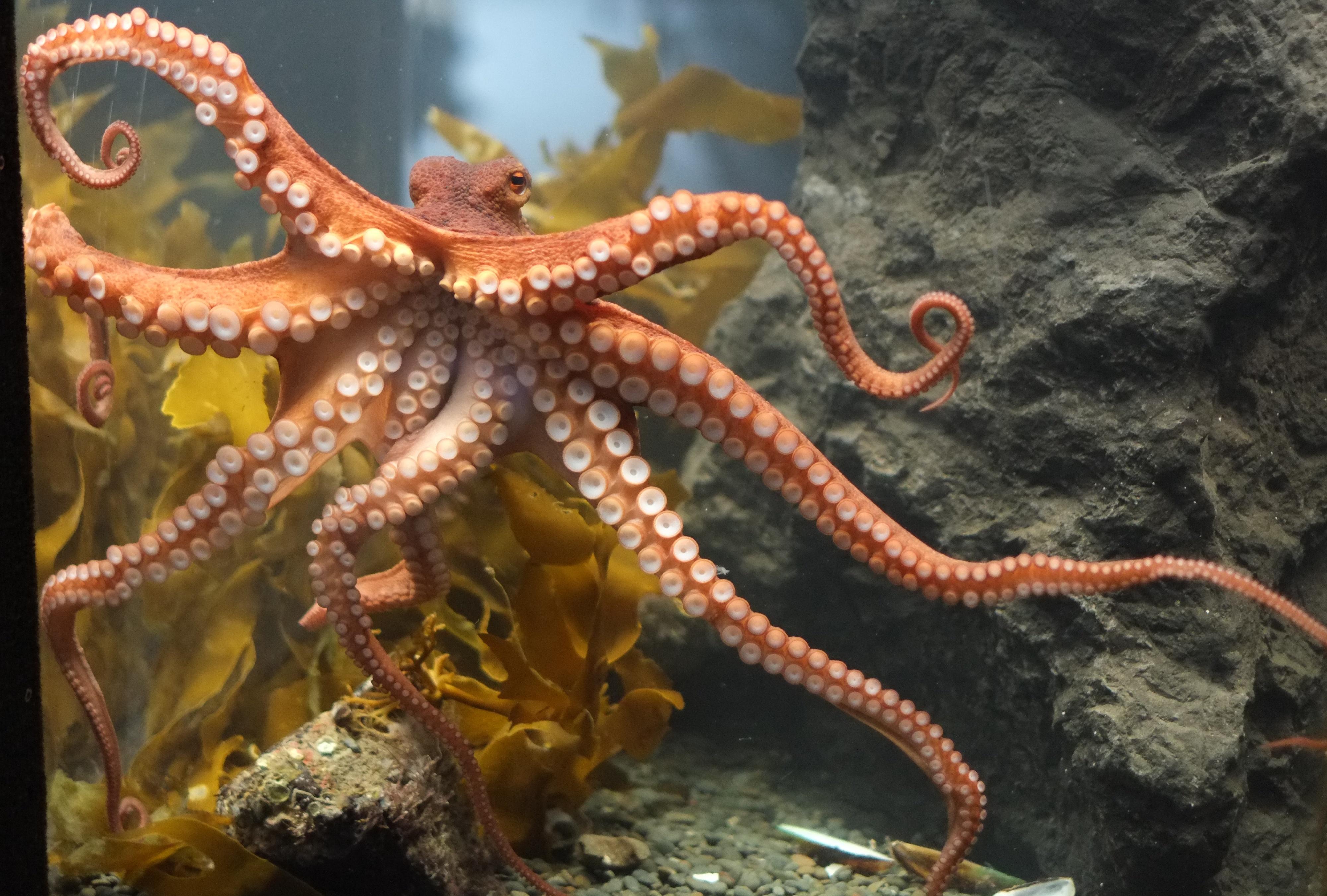 Octopus 4k