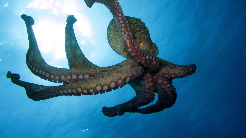 Octopus Computer Wallpaper