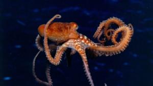 Octopus Hd