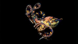 Octopus Hd Wallpaper