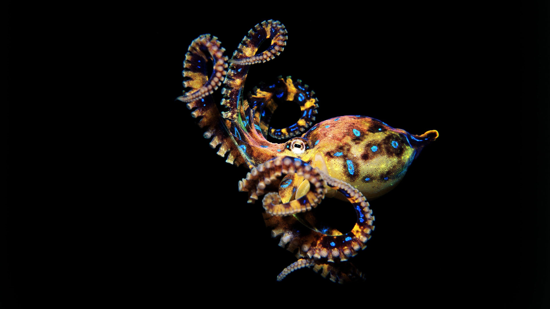 Octopus Hd Wallpaper