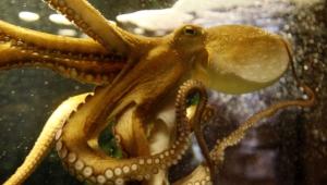Octopus High Definition