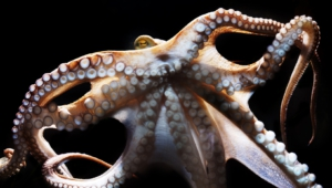 Octopus High Definition Wallpapers