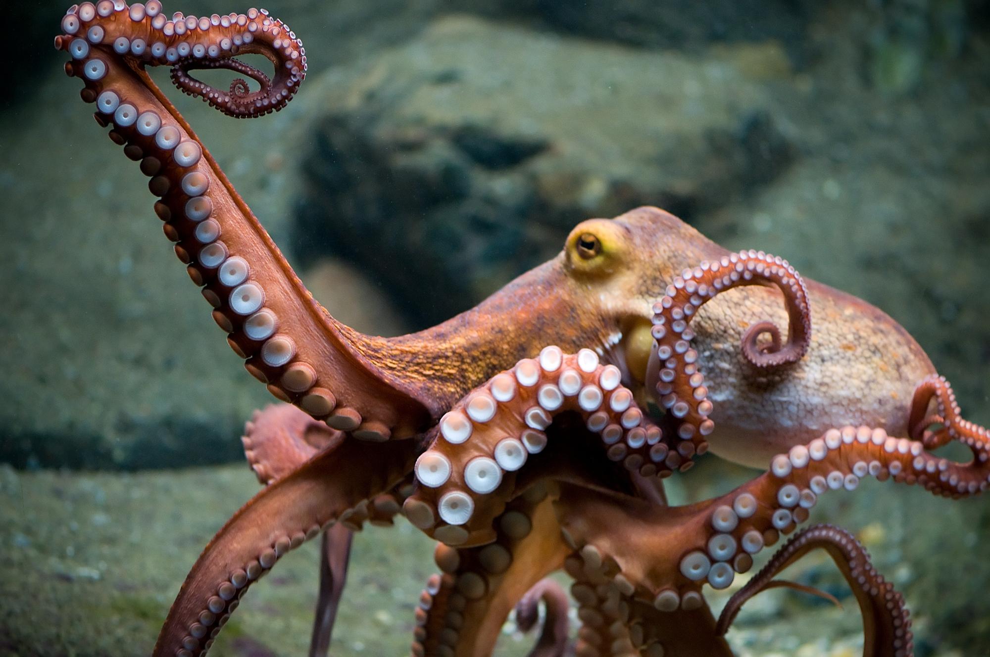 Octopus Wallpapers Hd