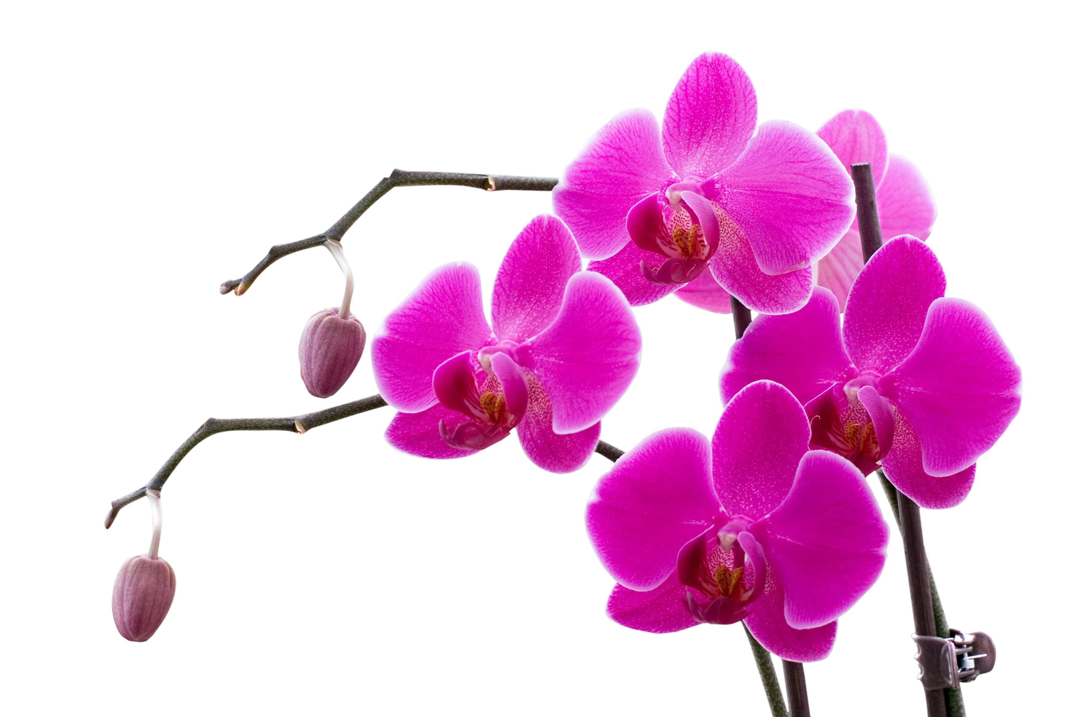 Orchid Computer Wallpaper