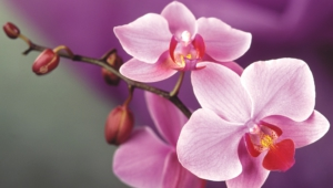 Orchid Hd Wallpaper