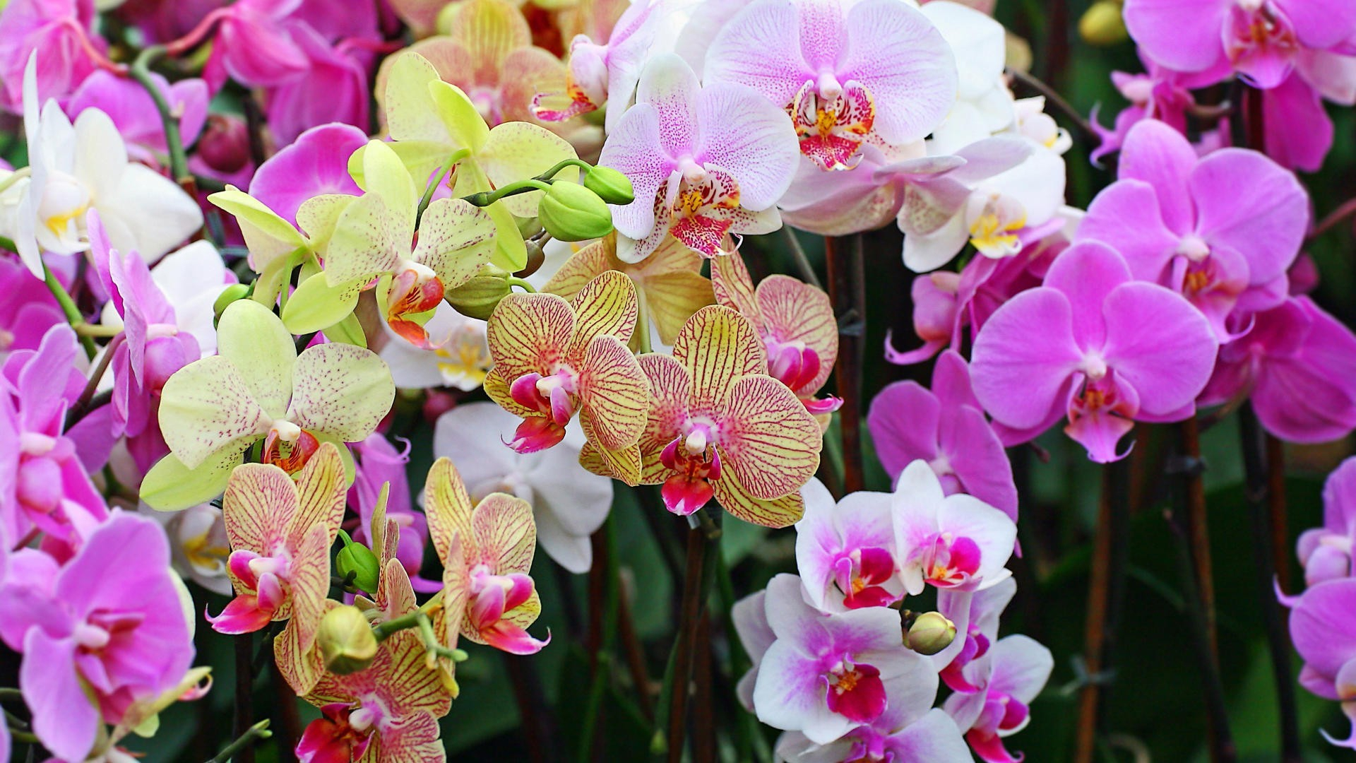 Orchid Widescreen