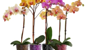 Orchid For Desktop