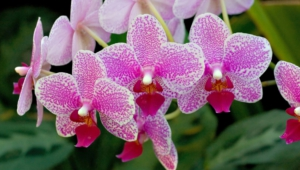 Orchid Full Hd