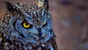 Owl Computer Wallpaper
