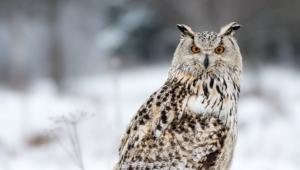 Owl Hd