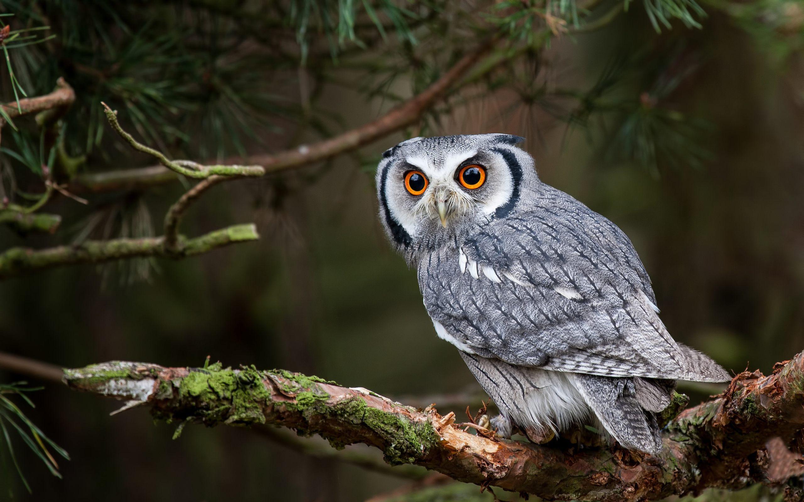 Owl Hd Background