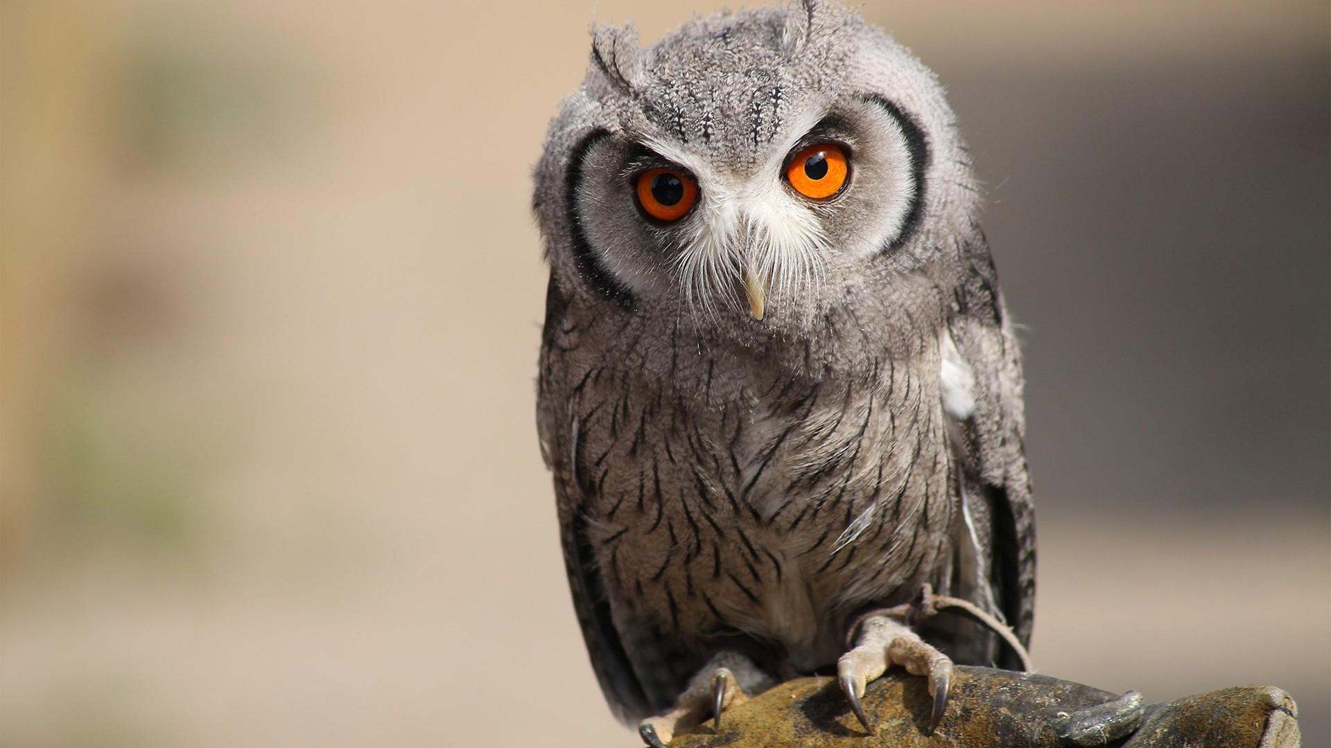 Owl Hd Desktop