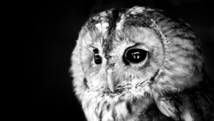 Owl Hd Wallpaper