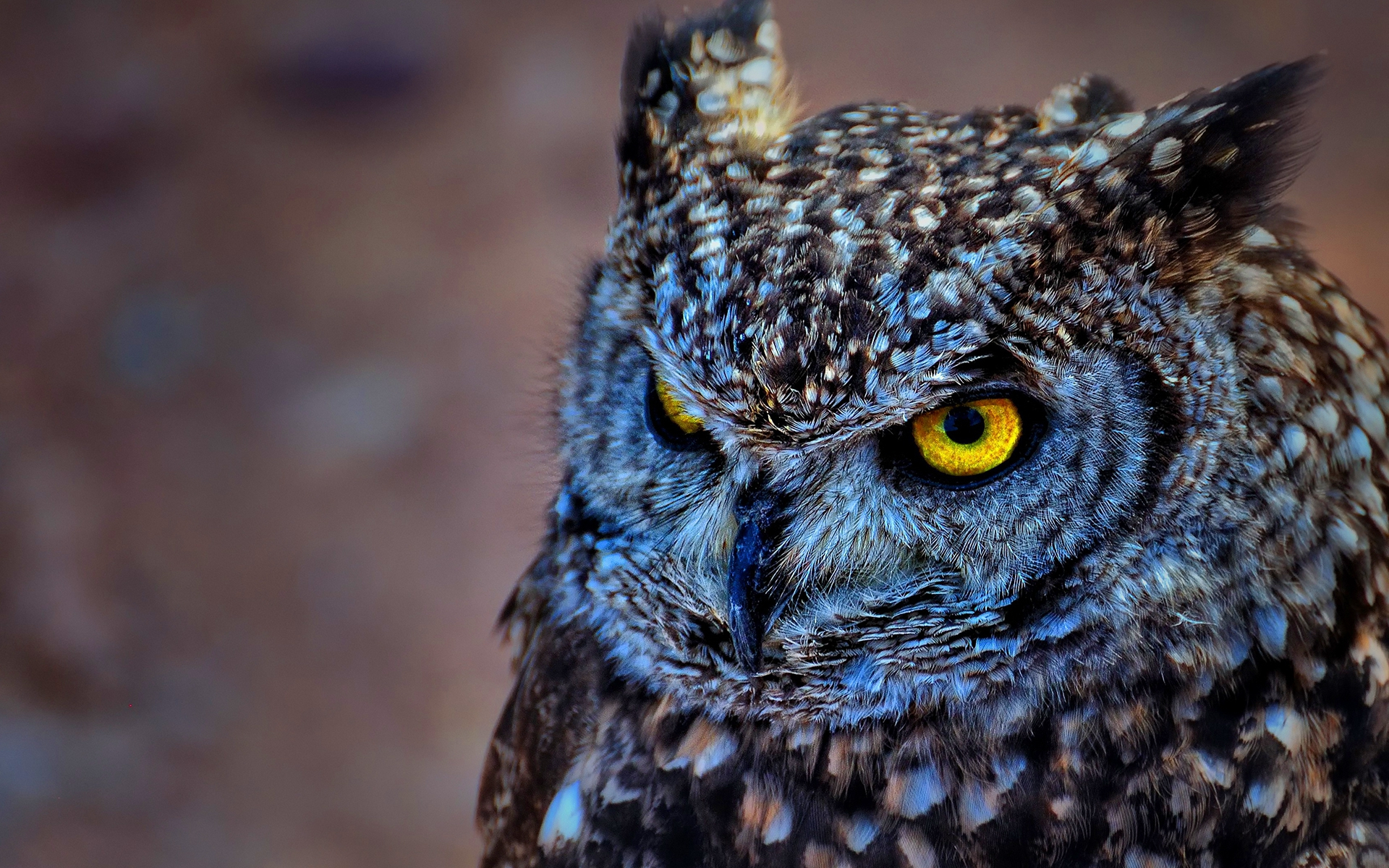 Owl High Definition Wallpapers