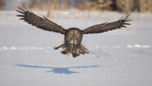 Owl High Quality Wallpapers