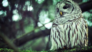 Owl Wallpapers And Backgrounds
