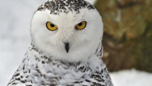 Owl Widescreen