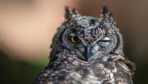 Owl Full Hd