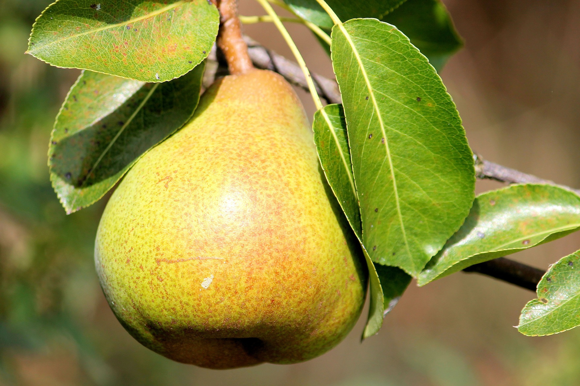 Pear Background