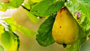 Pear Hd Background