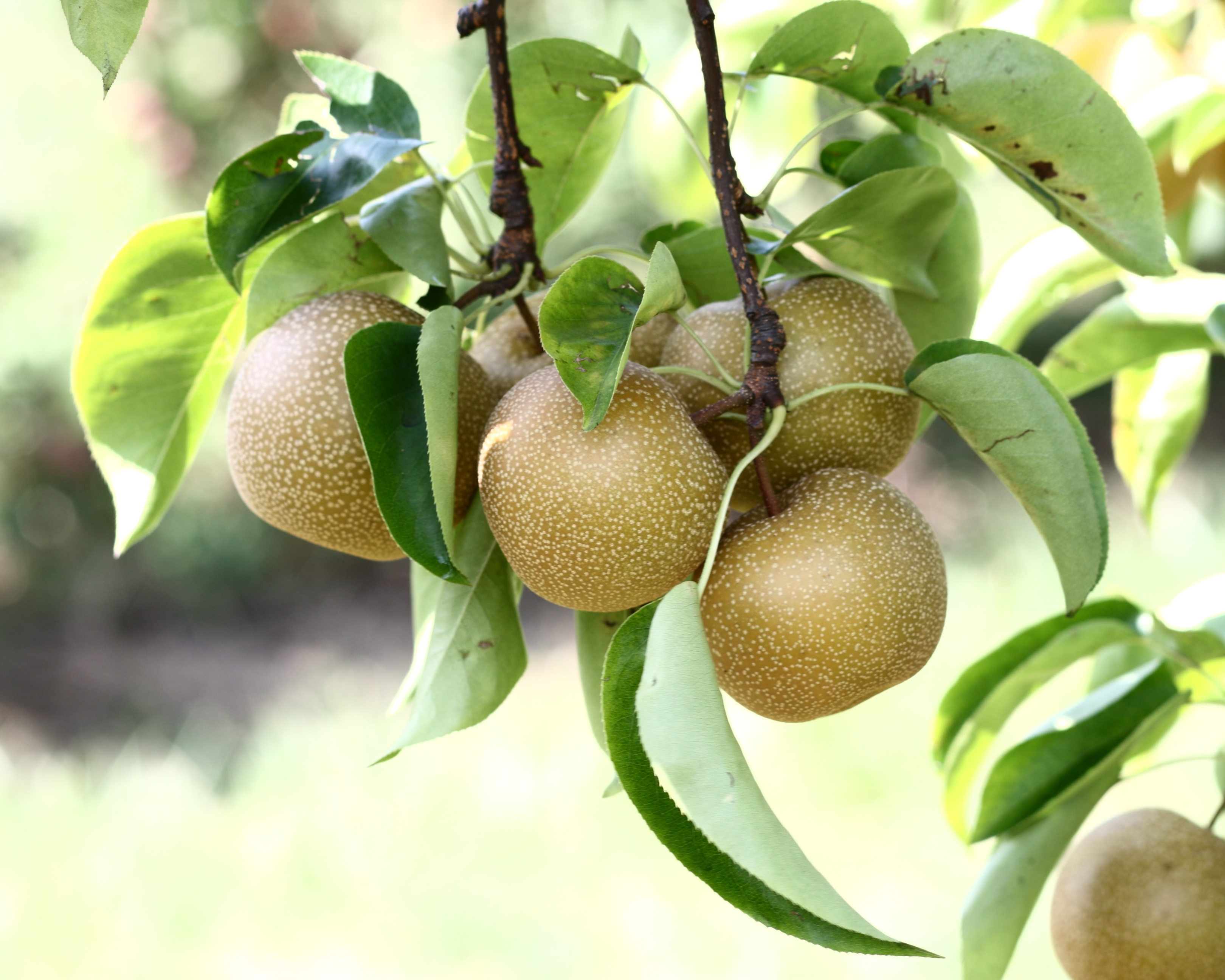 Pear Pictures