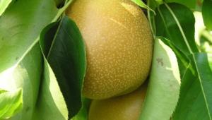 Pear Widescreen