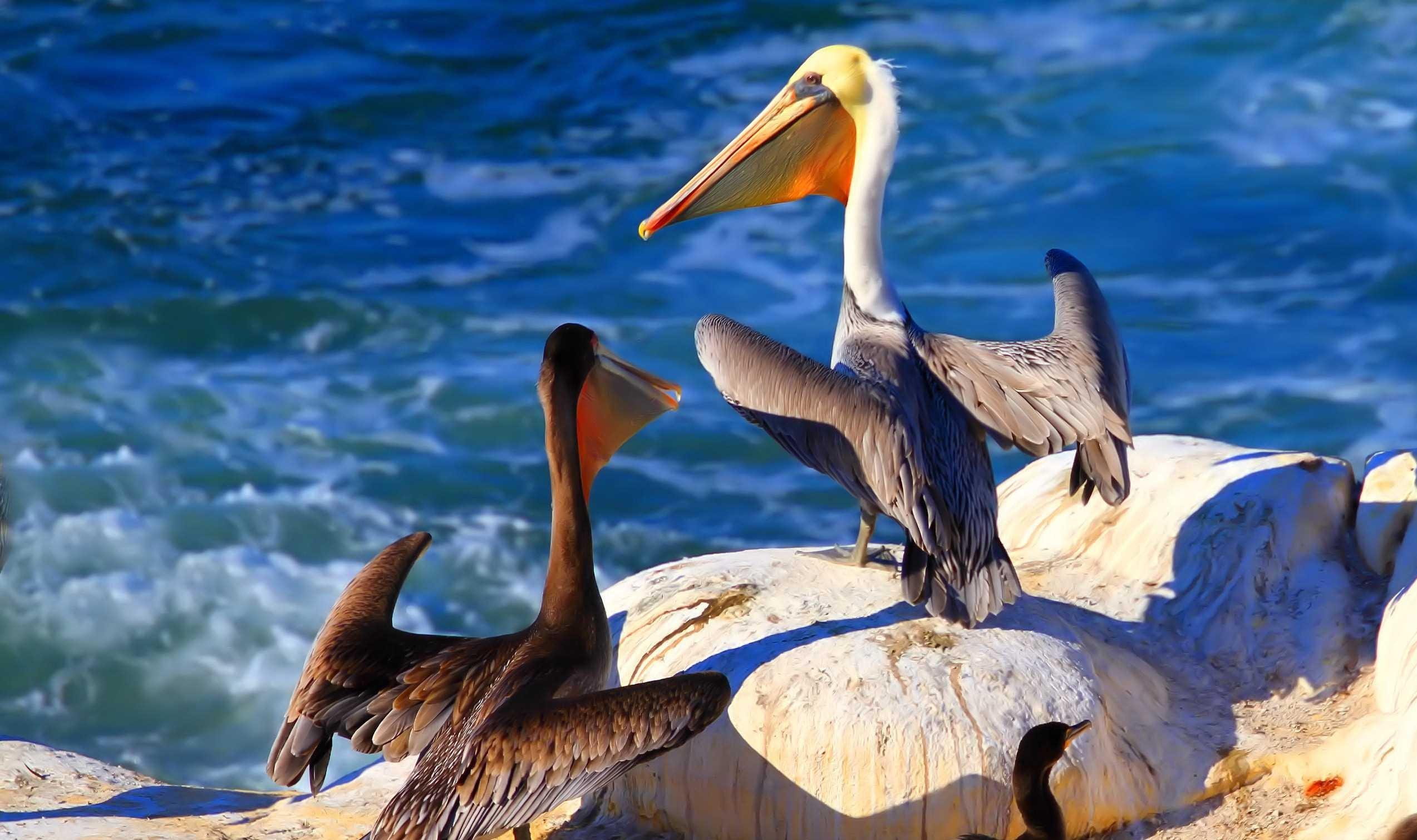 Pelican Hd Background