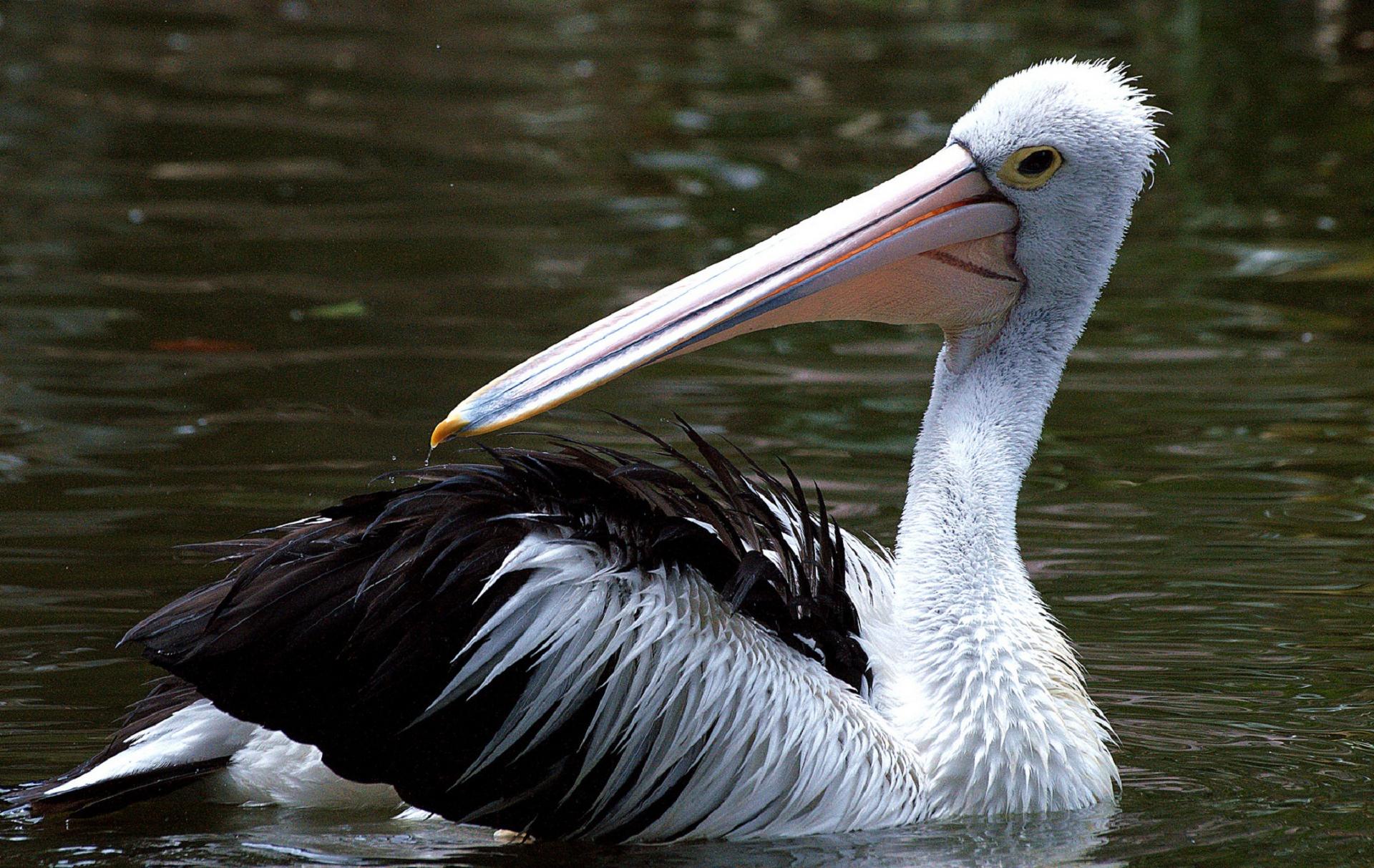 Pelican Hd