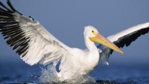 Pelican Wallpapers Hq