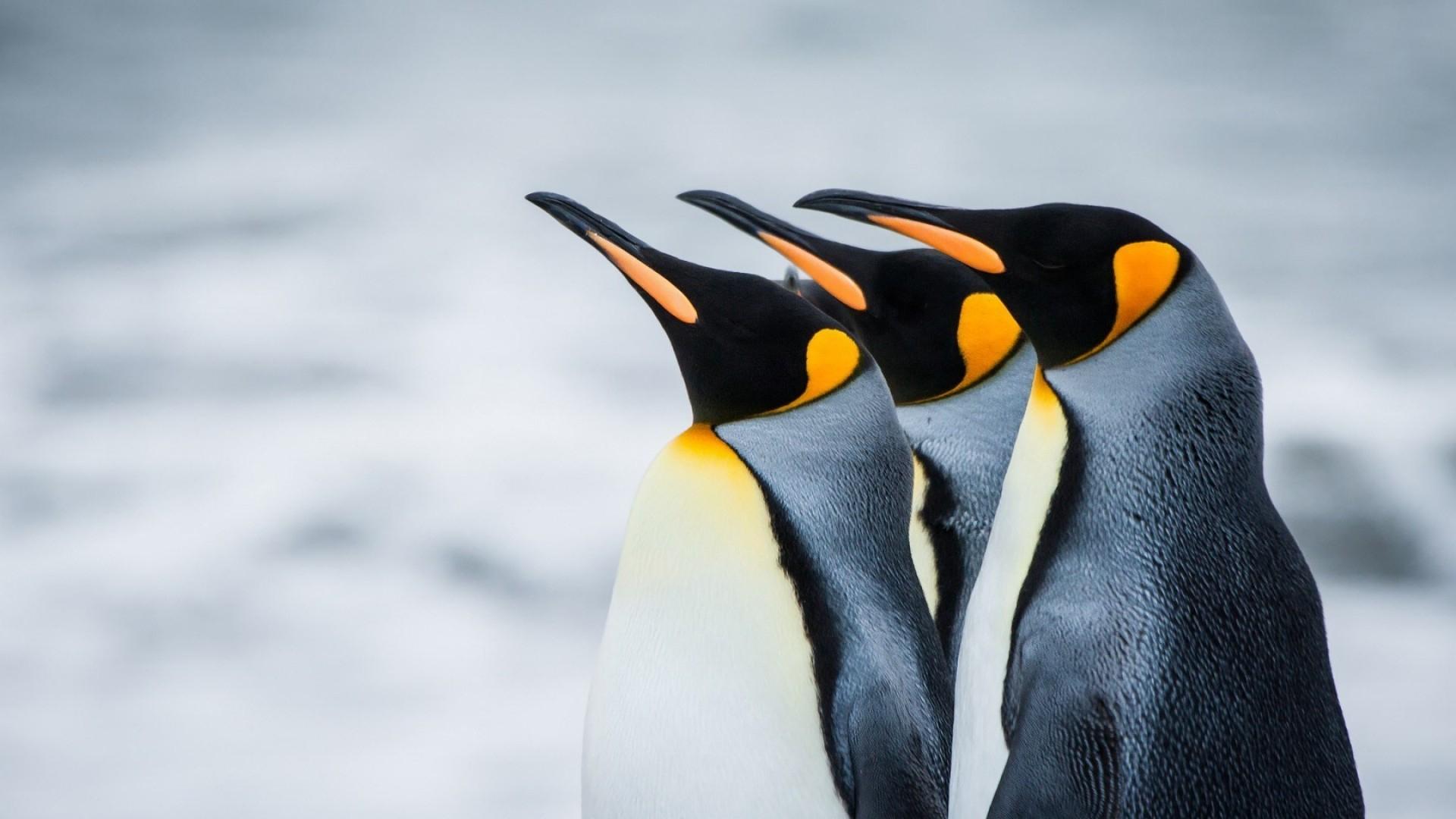 Penguin 4k