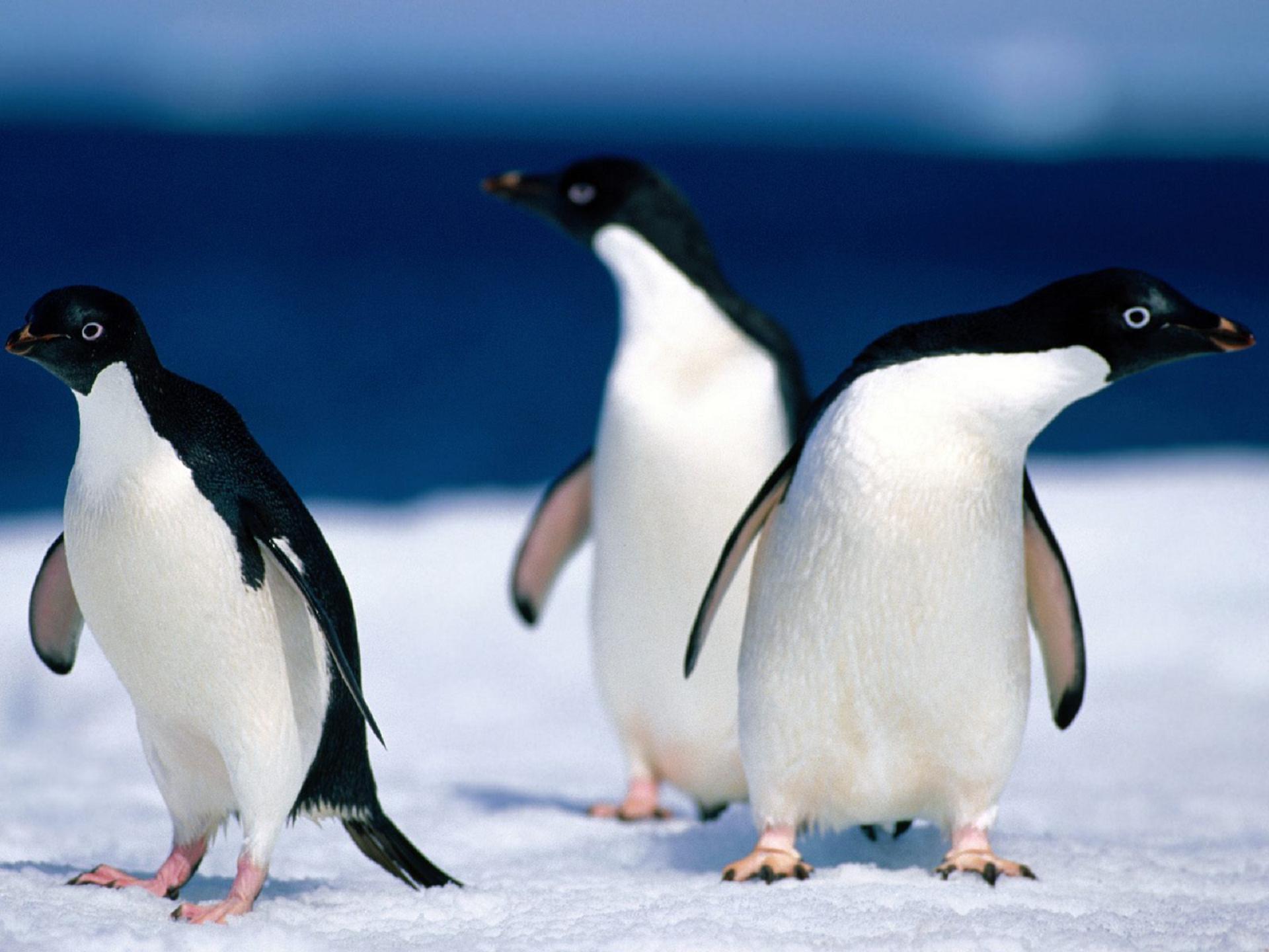 Penguin Computer Backgrounds