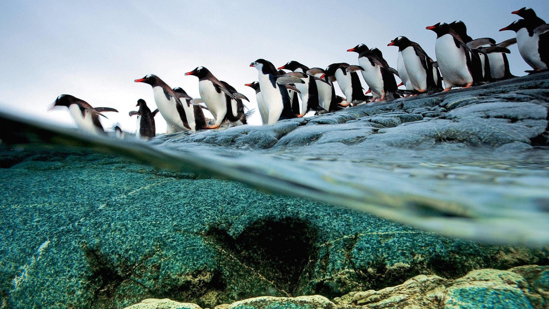 Penguin Full Hd