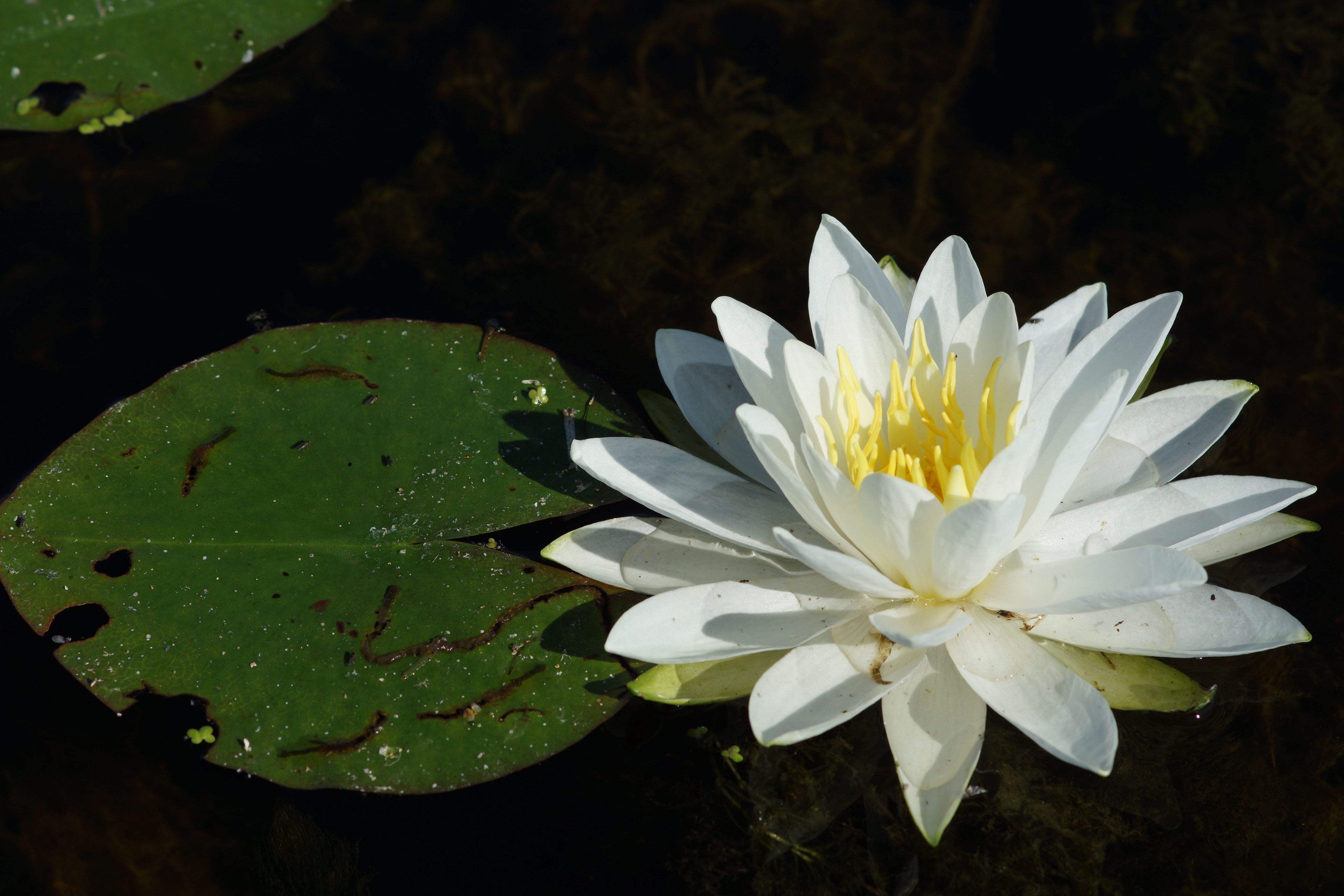 Photos Of Water Lily