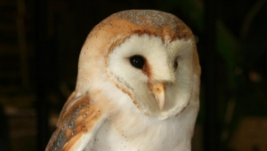 Pictures Of Barn Owl