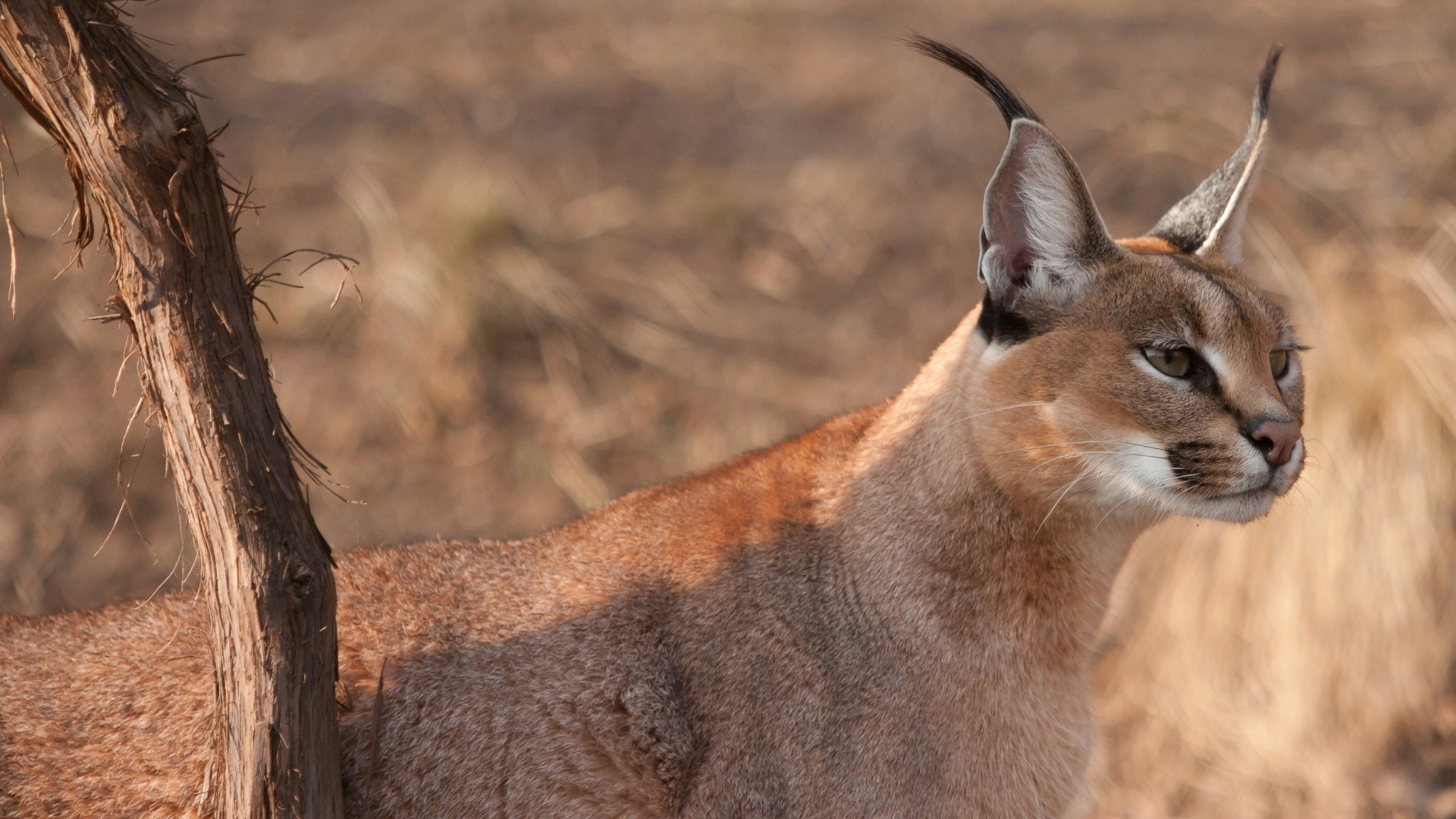 Pictures Of Caracal