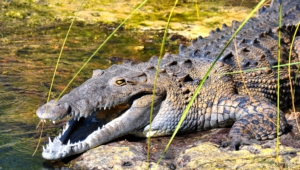 Pictures Of Crocodile