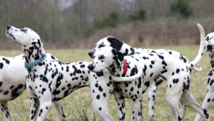 Pictures Of Dalmatian