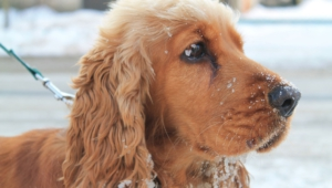 Pictures Of English Cocker Spaniel