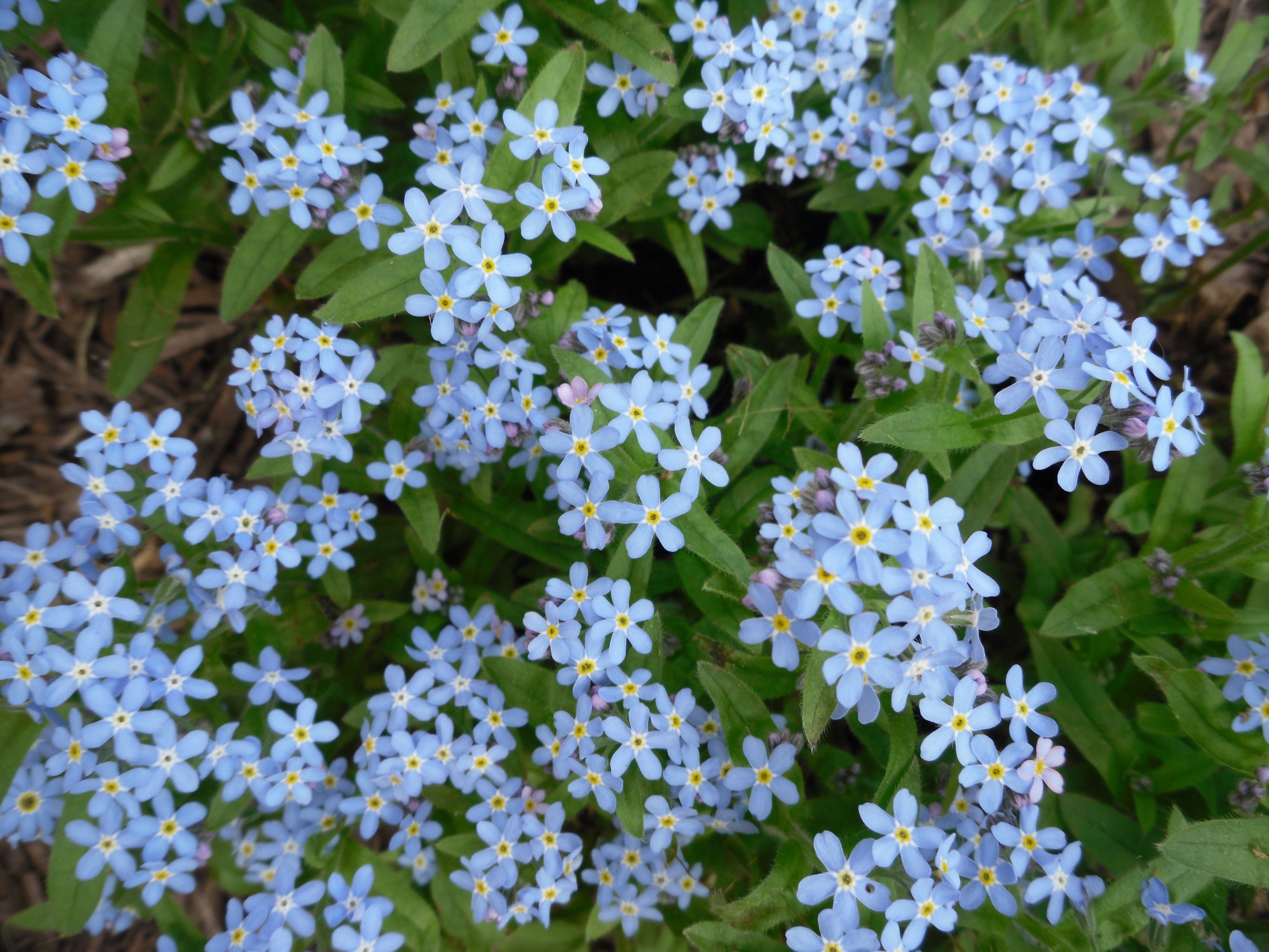 Pictures Of Forget Me Not Flower
