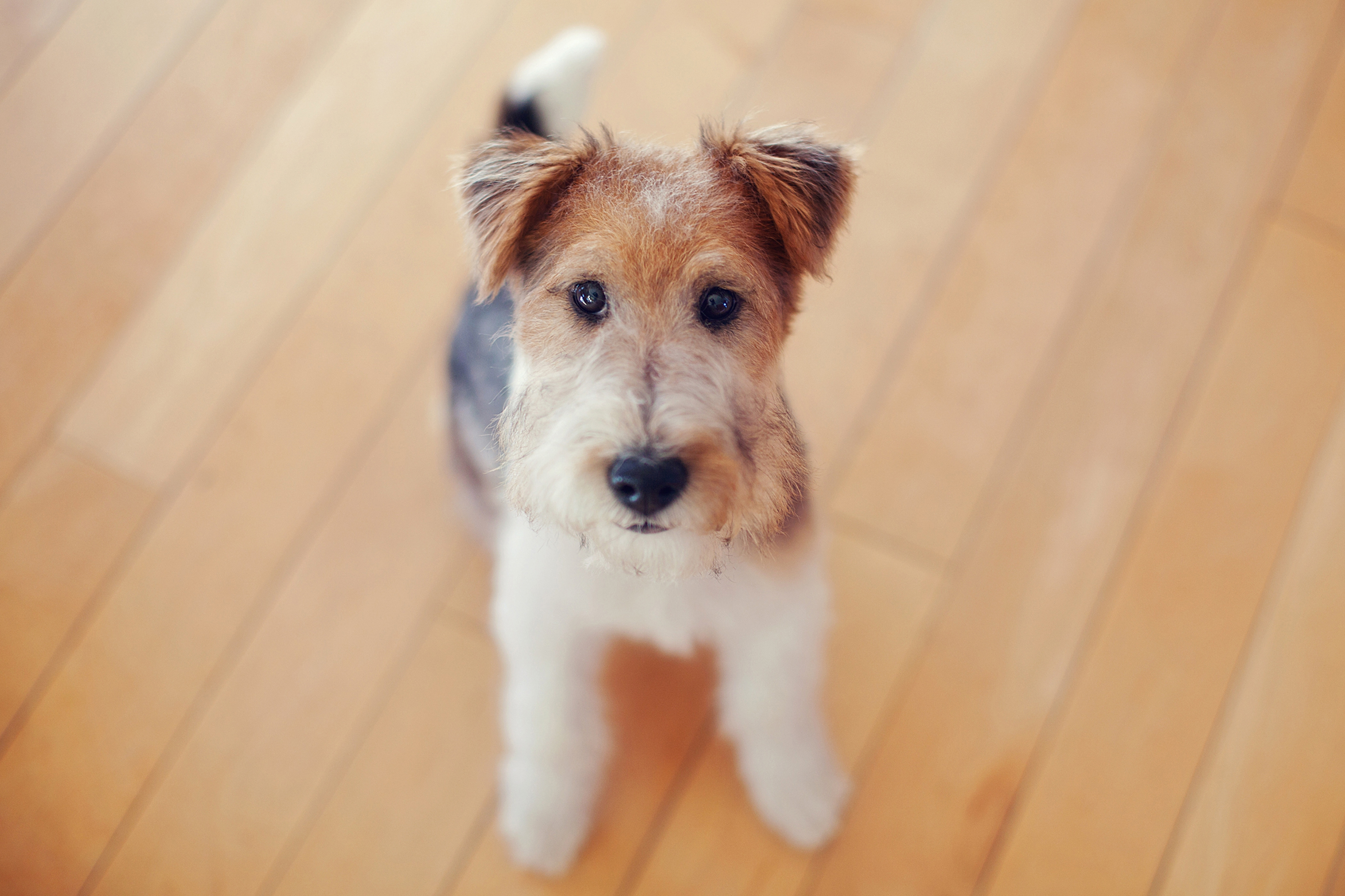 Pictures Of Fox Terrier