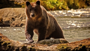 Pictures Of Grizzly Bear