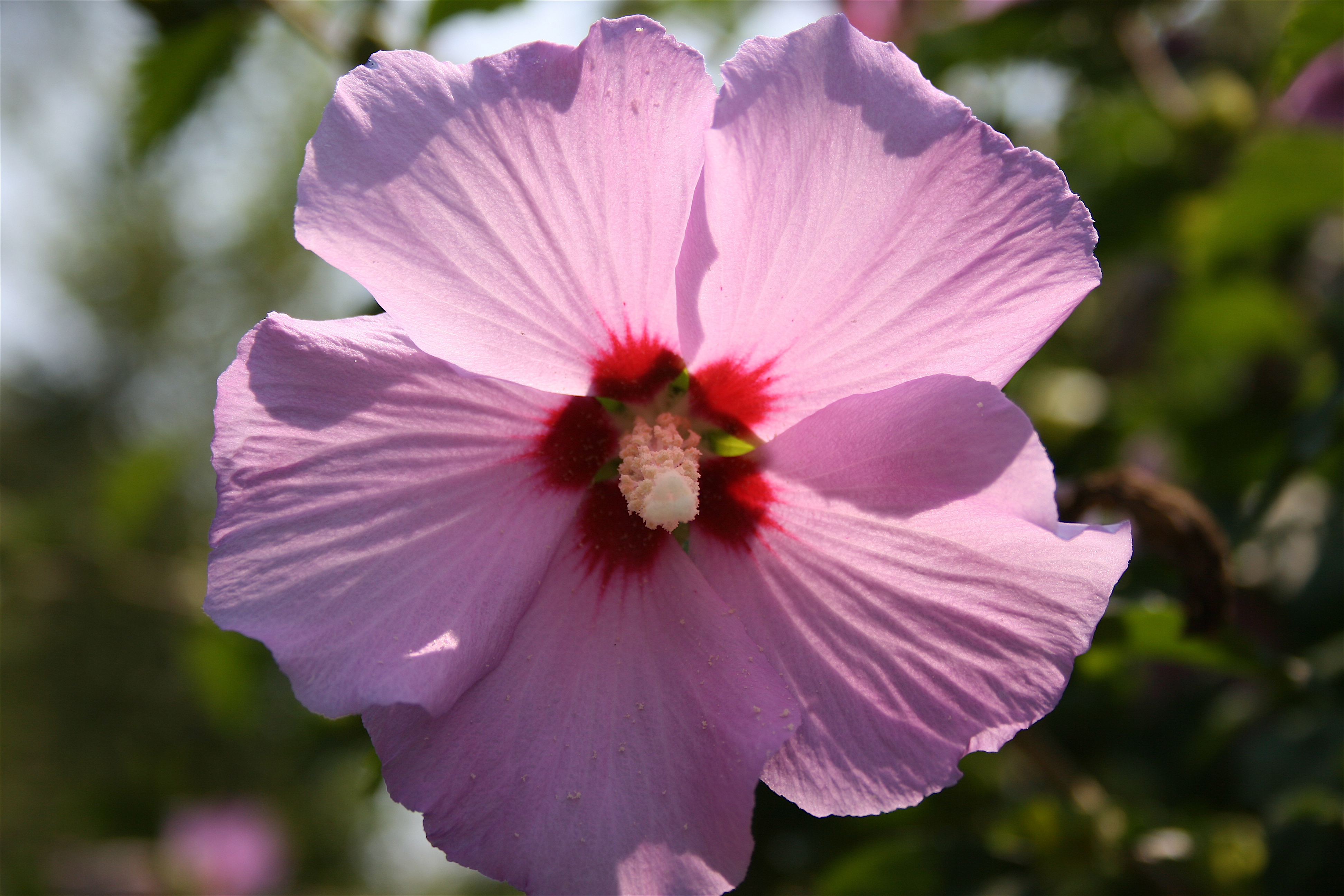 Pictures Of Hibiscus