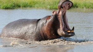 Pictures Of Hippopotamus